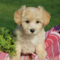 How To Find The Best Maltipoo Puppies For Sale Today